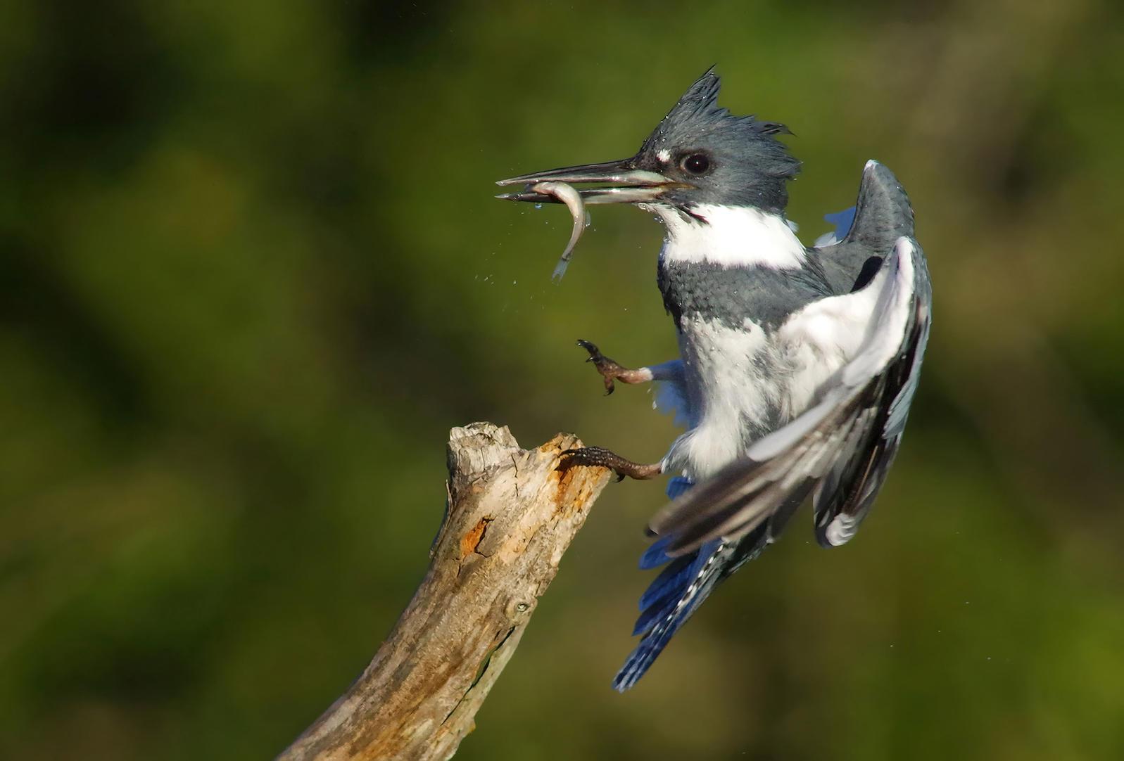 Belted Kingfisher. Evelyn Garcia/Audubon Photography Awards