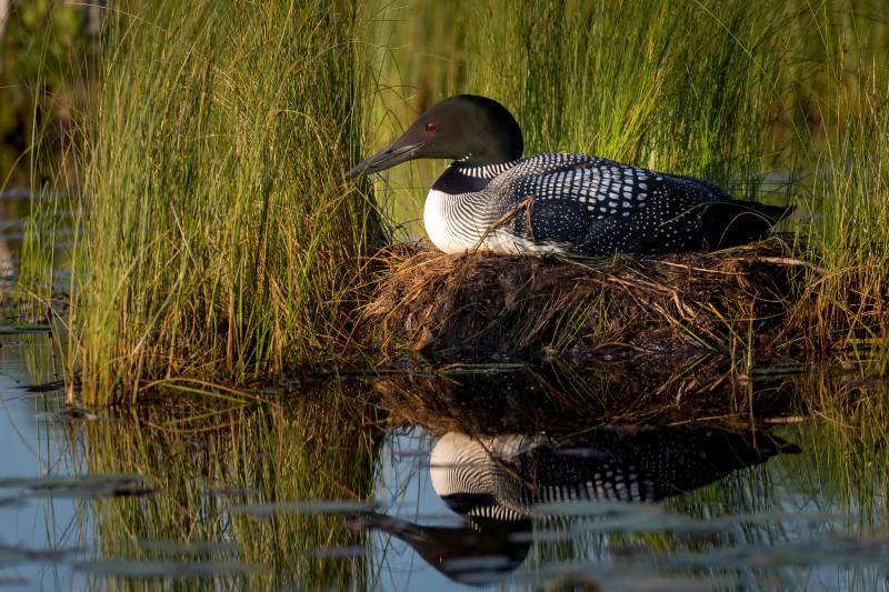Common Loon. Tammy Pick/Audubon Photography Awards