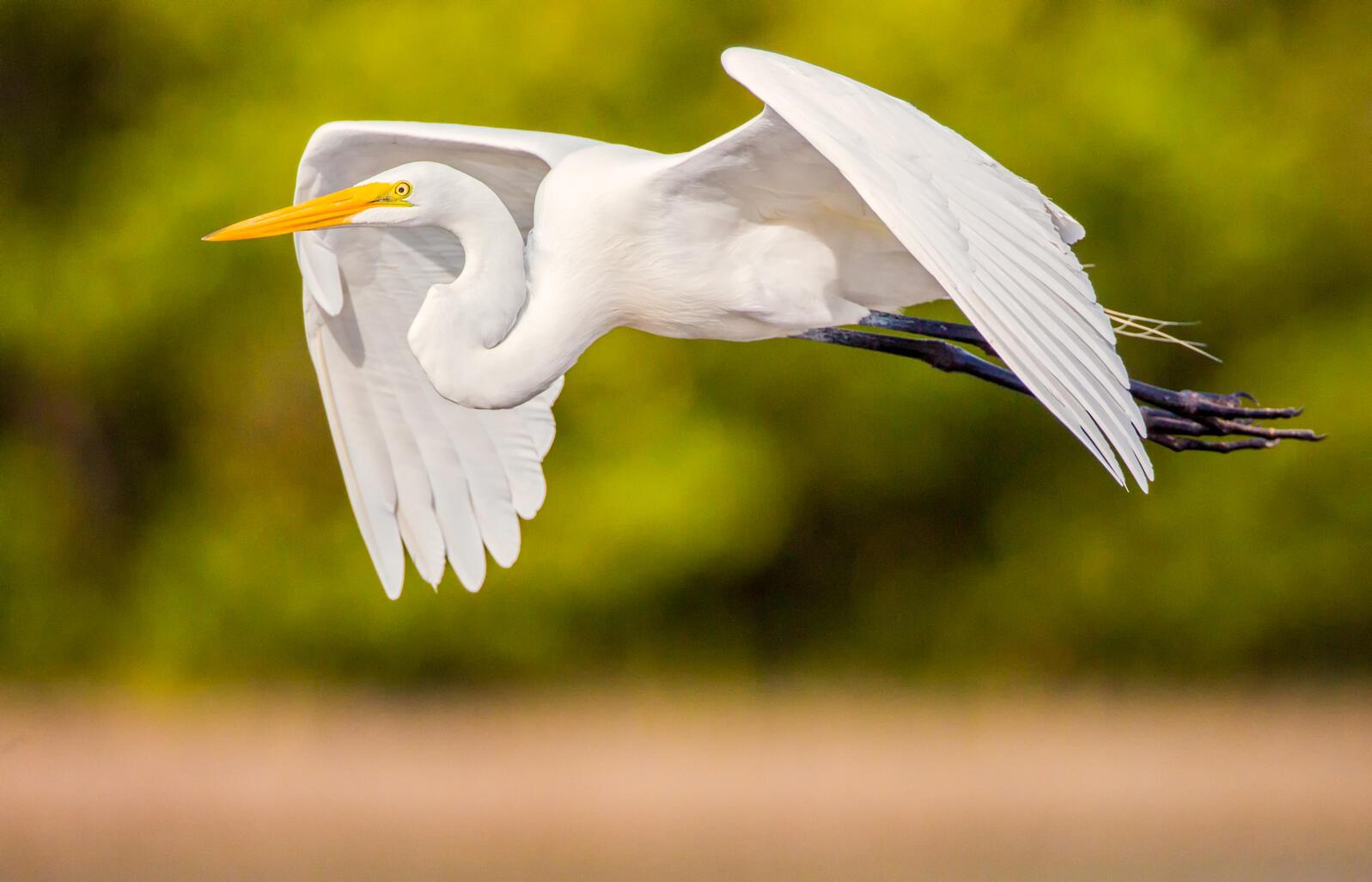 Great Egret. Andres Leon/Audubon Photography Awards