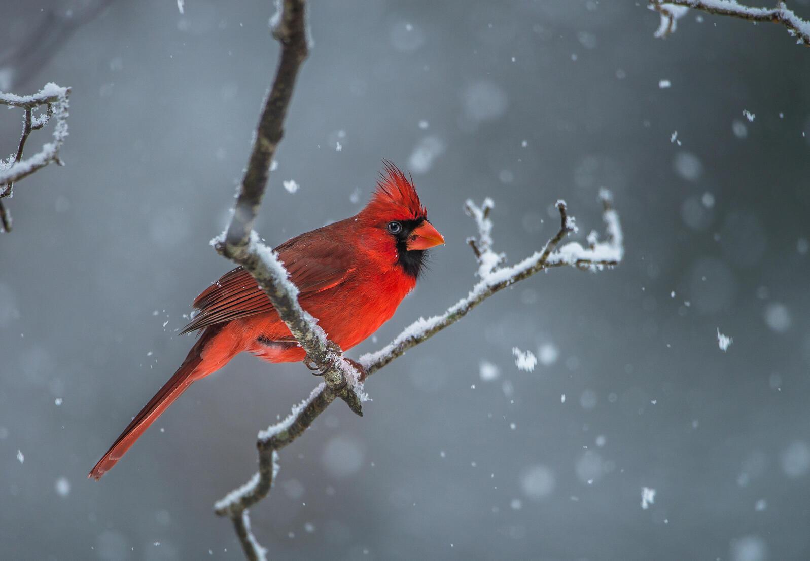 Northern Cardinal. Chokchai Leangsuksun/Audubon Photography Awards