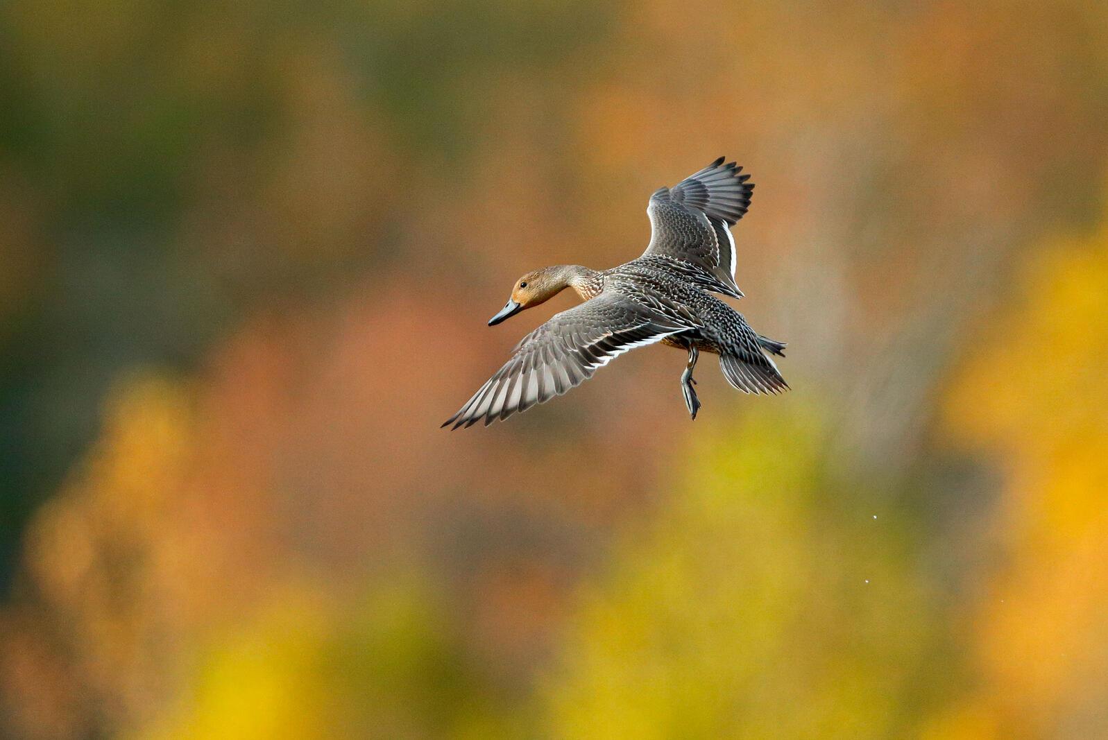 Northern Pintail. Ruhikanta Meetei/Audubon Photography Awards