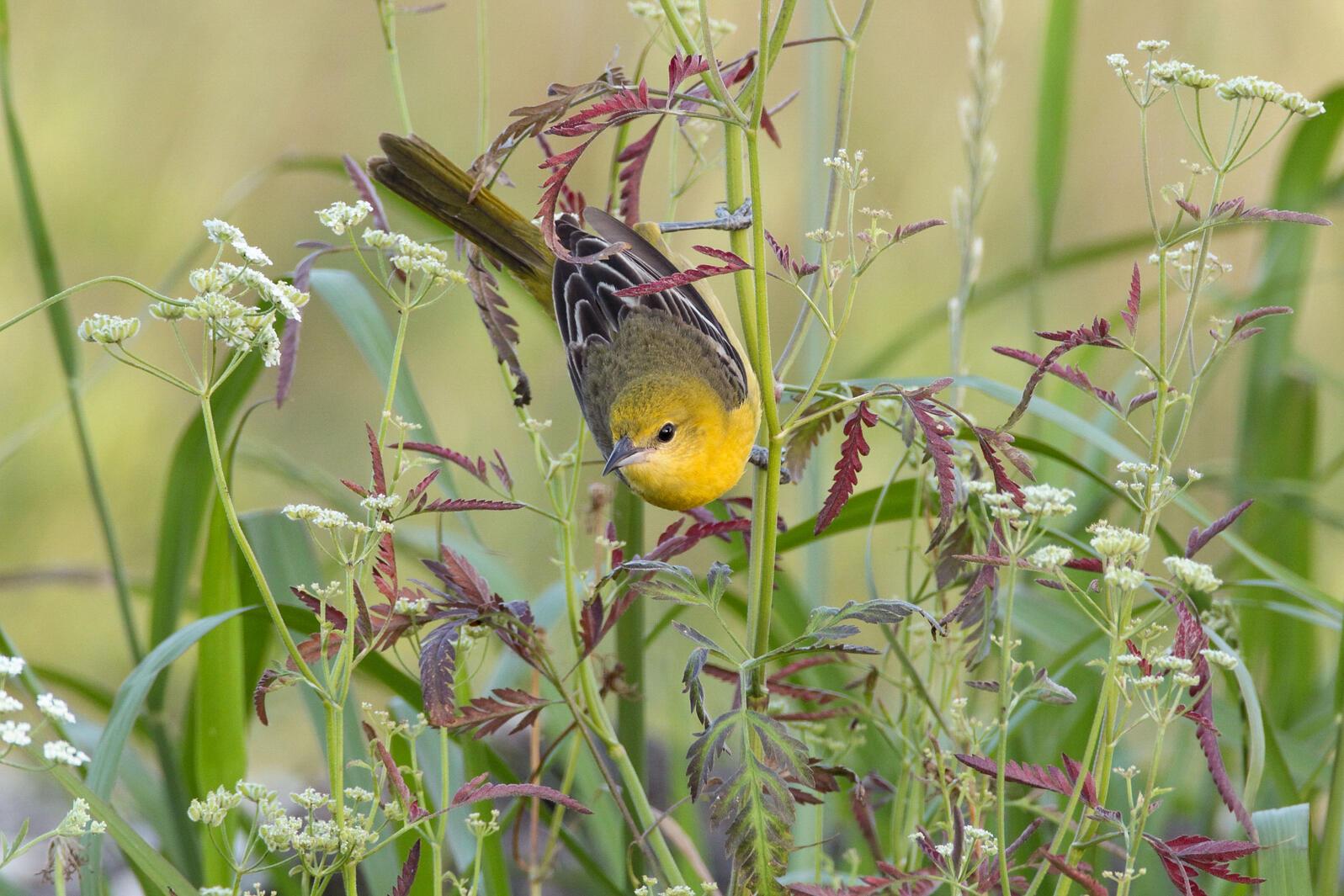 Orchard Oriole. Brad Fields/Audubon Photography Awards