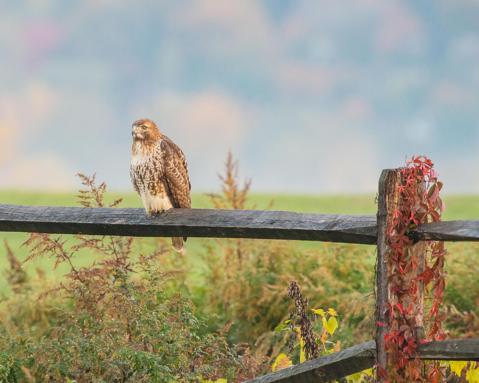 Red-tailed Hawk. Morris Finkelstein/Audubon Photography Awards
