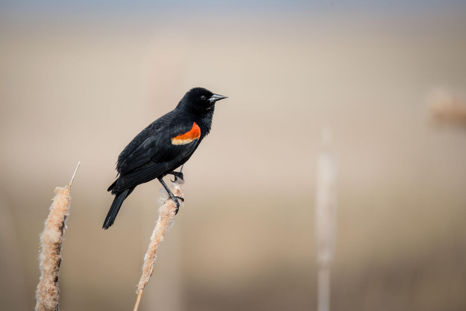 Red-winged Blackbird. Cathy Bennington/Audubon Photography Awards