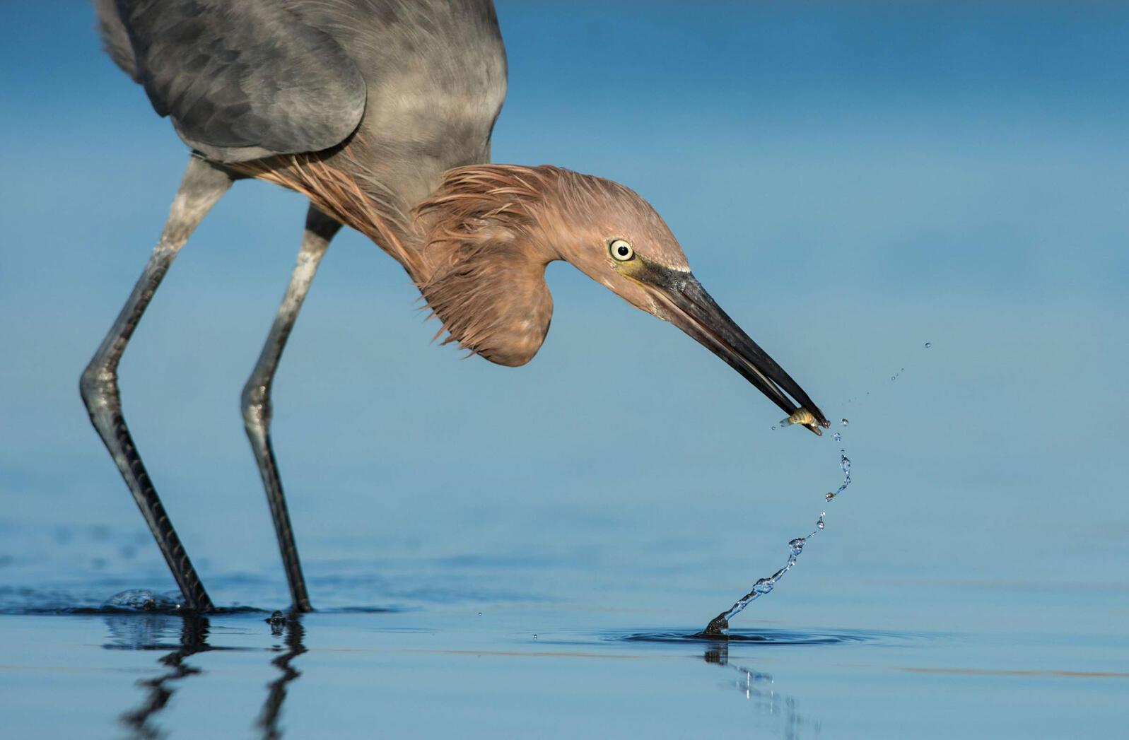Reddish Egret. Peter Brannon/Audubon Photography Awards