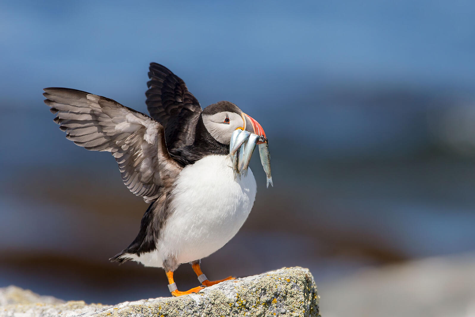 Atlantic Puffin with Herring. Shawn Casey/Audubon Seabird Institute