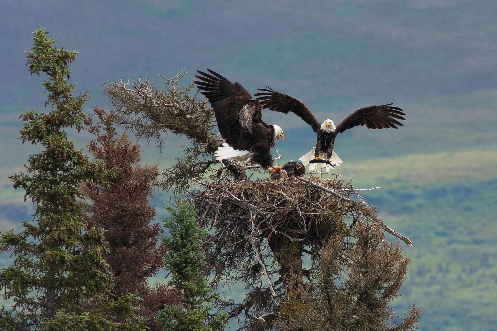 Bald Eagles. Ed MacKerrow/Audubon Photography Awards