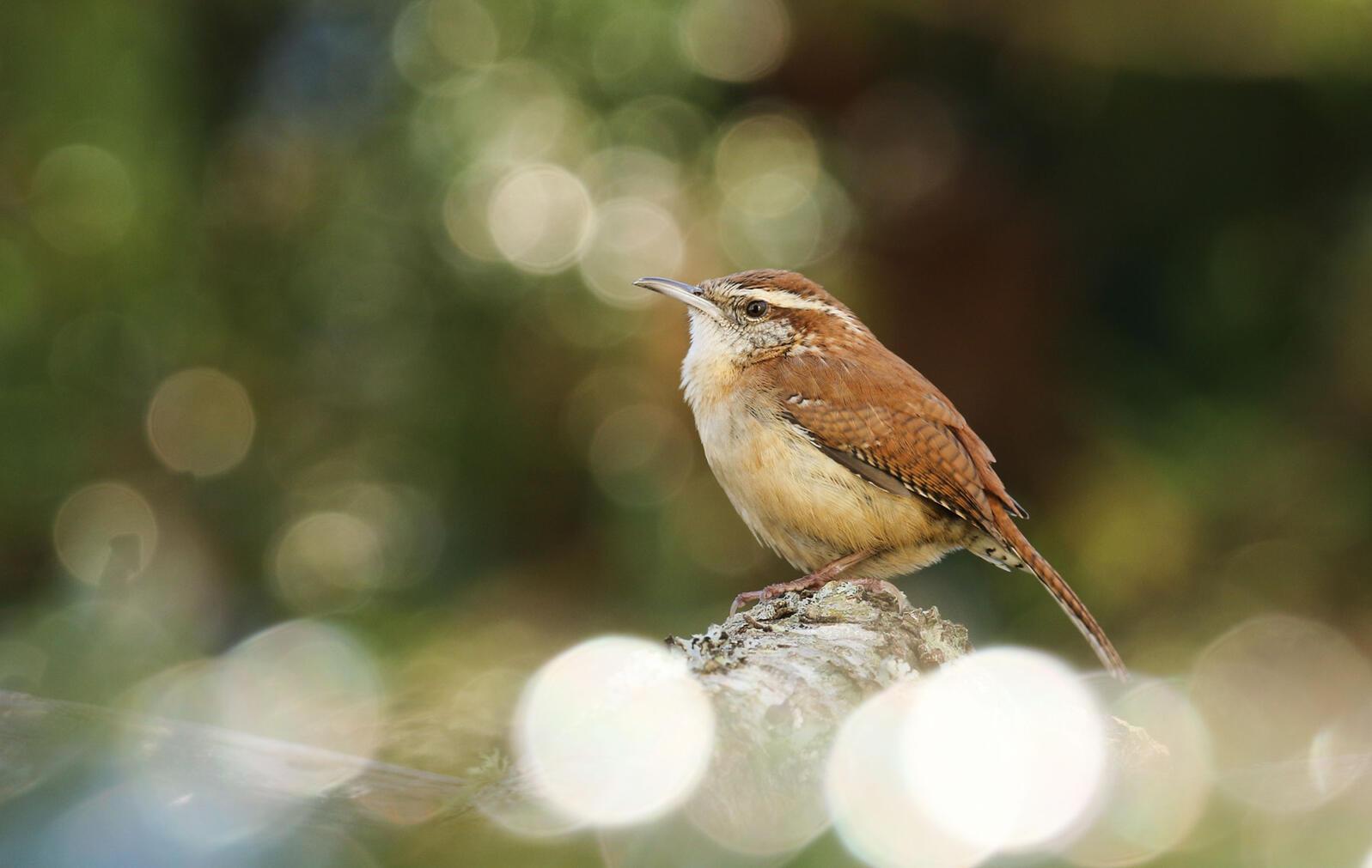 Carolina Wren. Sujata Roy/Audubon Photography Awards