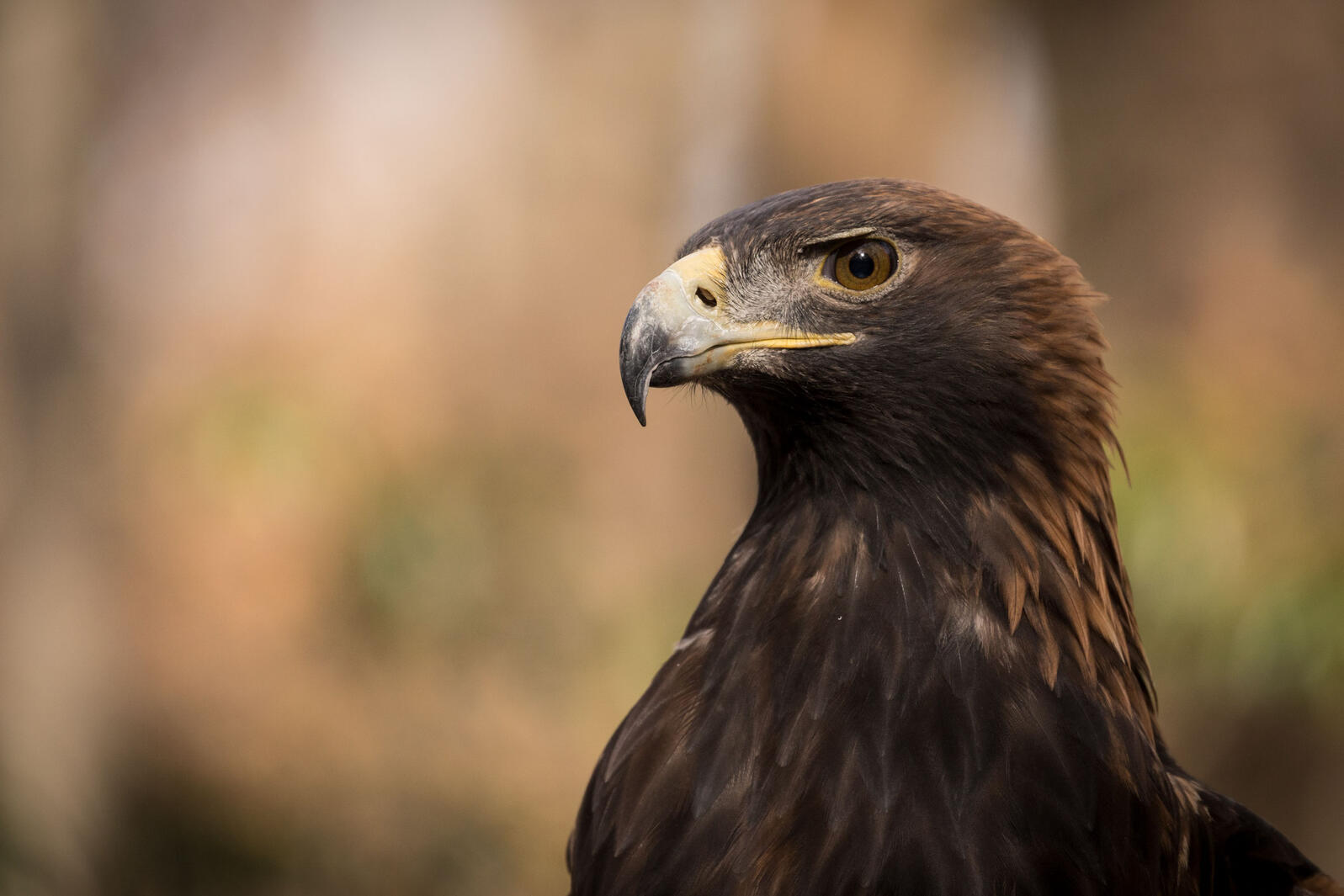 Golden Eagle. Kristen Franklin/Audubon Photography Awards