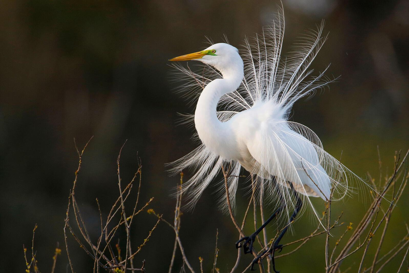Great Egret. Andrew McCullough/Audubon Photography Awards