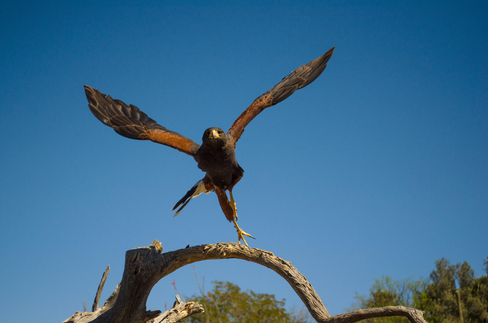 Harris's Hawk. Timothy Morrison/Audubon Photography Awards