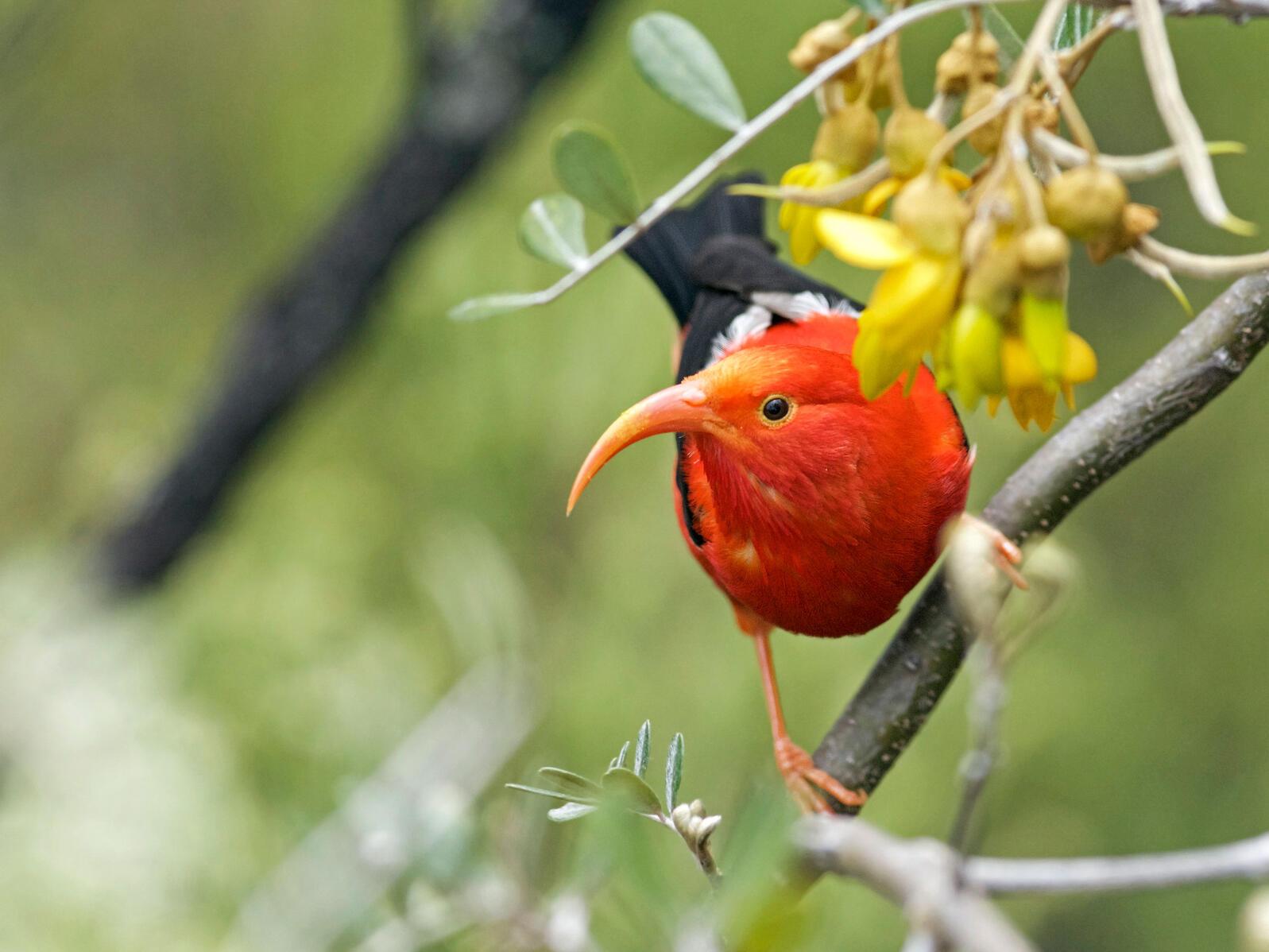 ʻIʻiwi. Justin Peter/Audubon Photography Awards