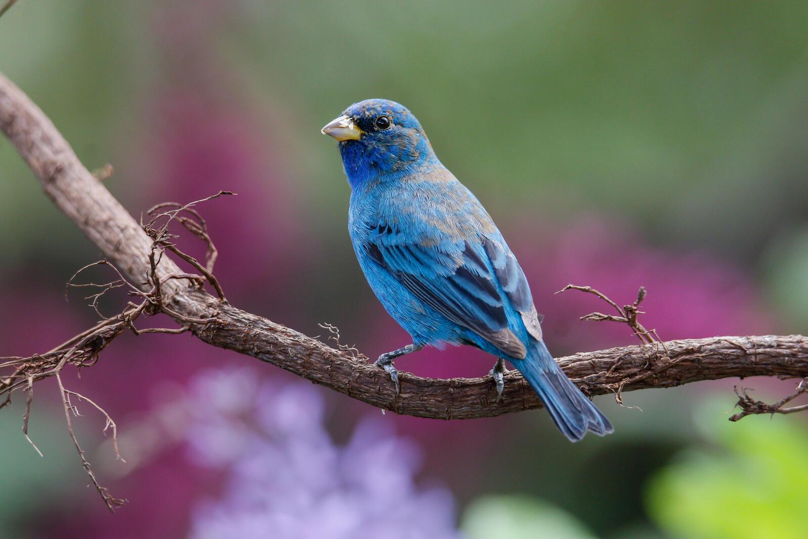 Indigo Bunting. Julie Torkomian/Audubon Photography Awards