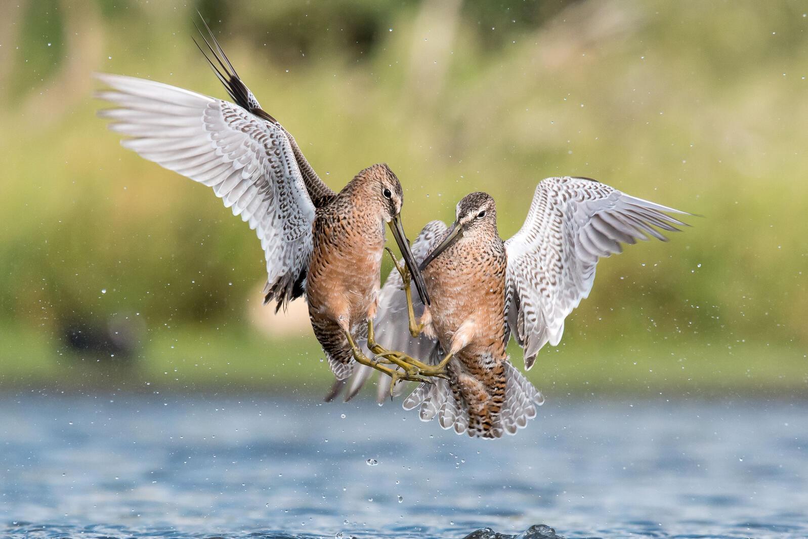Long-billed Dowitcher. Melissa James/Audubon Photography Awards