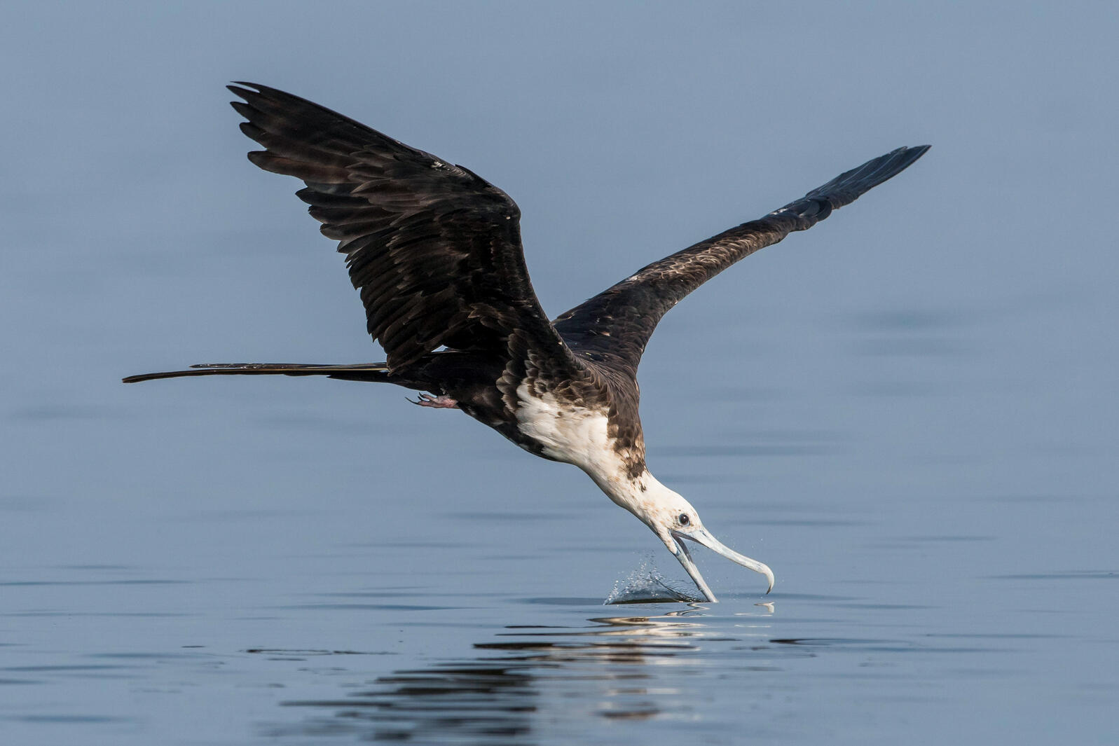 A Magnificent Frigatebird flying low over the sea with it's beak open, skimming the water. It may be diving for a fish.