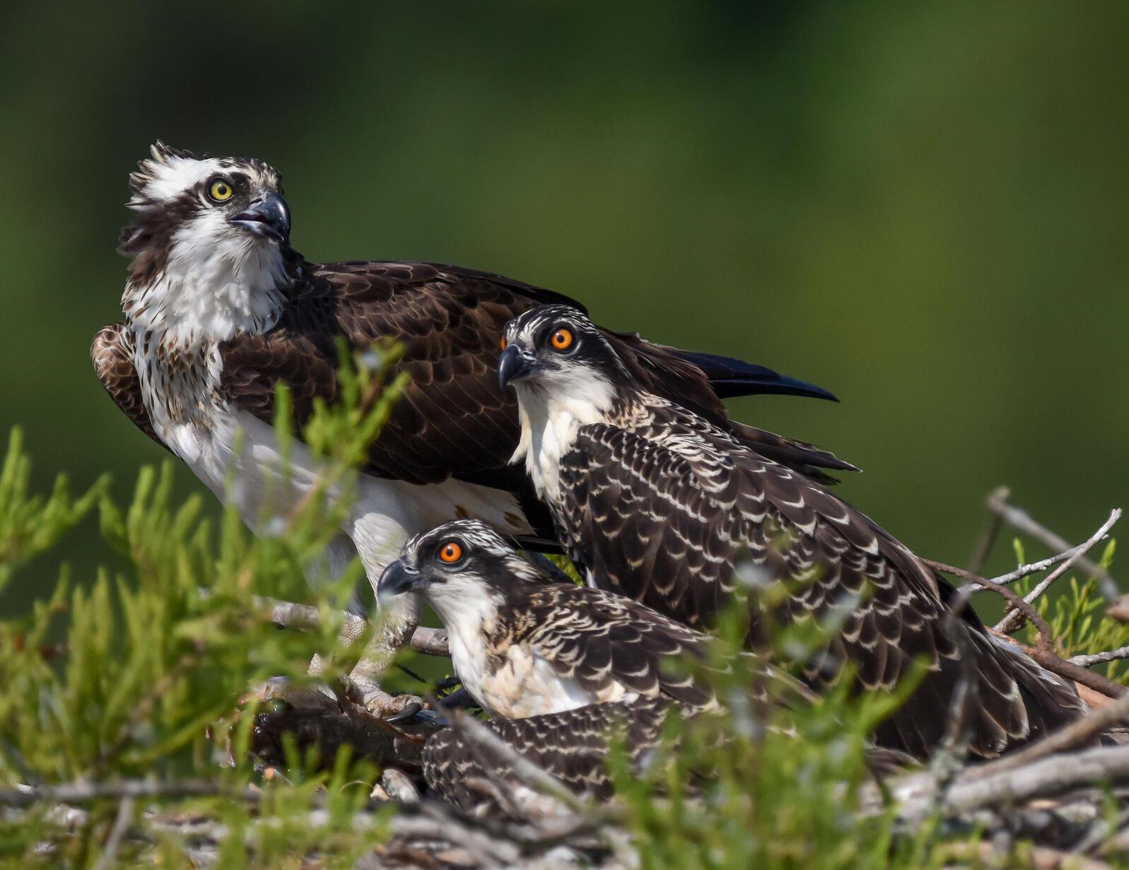 Osprey with young. Glenn Ostle/Audubon Photography Awards