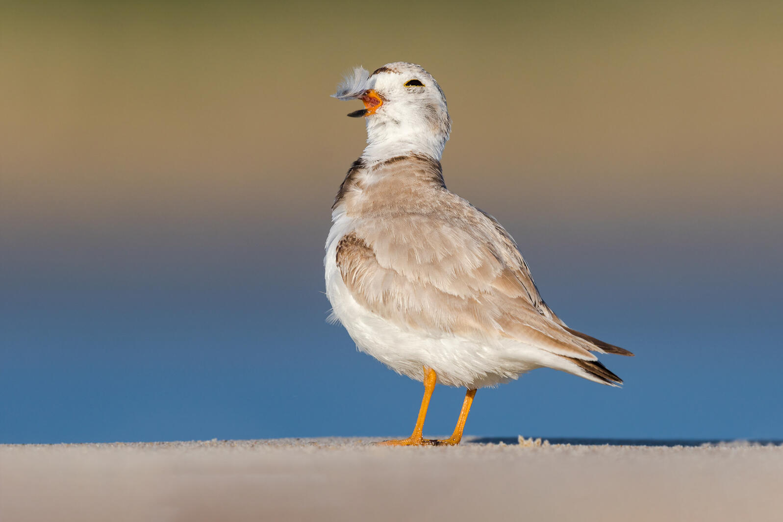Piping Plover. Matthew Filosa/Audubon Photography Awards
