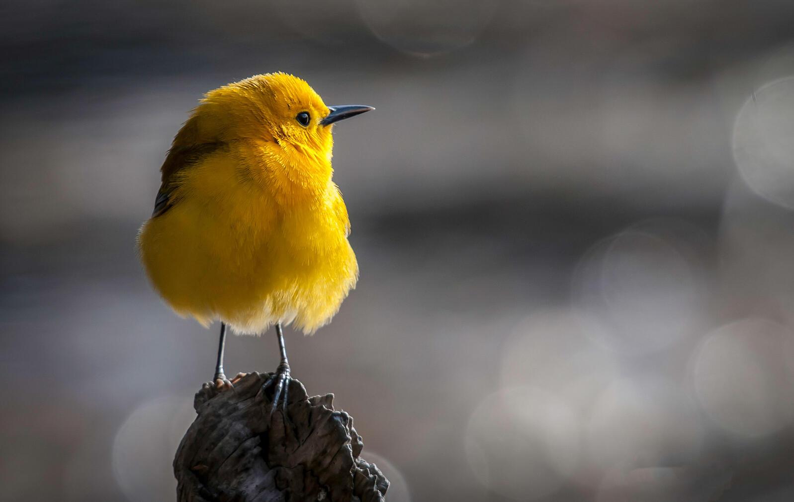 Prothonotary Warbler. Tom Reichert/Audubon Photography Awards