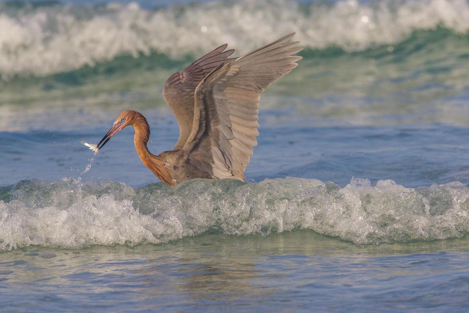 Reddish Egret. Marjie Goldberg/Audubon Photography Awards