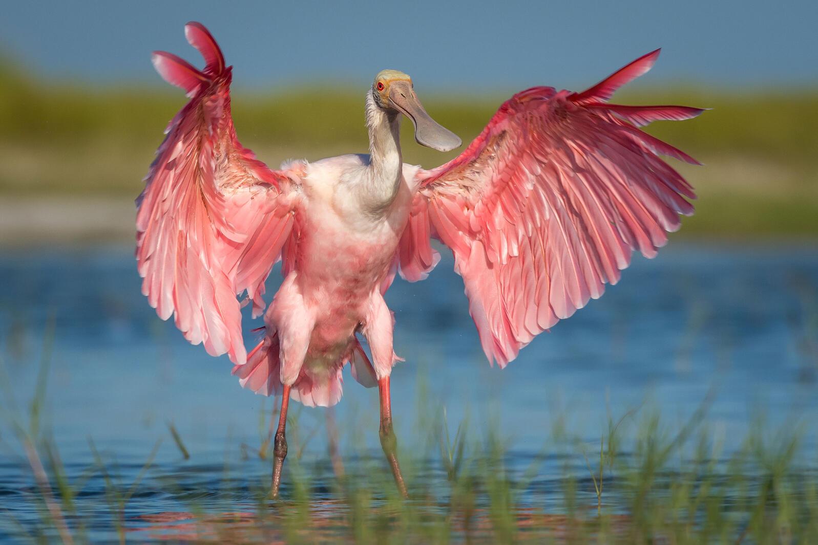 Roseate Spoonbill. Tammy Pick/Audubon Photography Awards