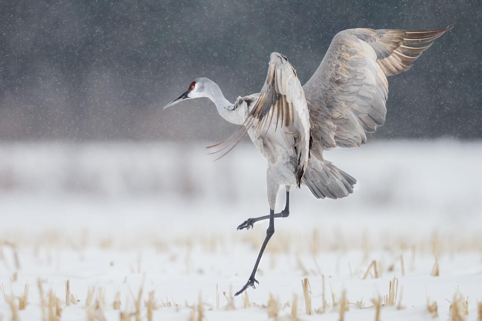 Sandhill Crane. Xianwei Zeng/Audubon Photography Awards