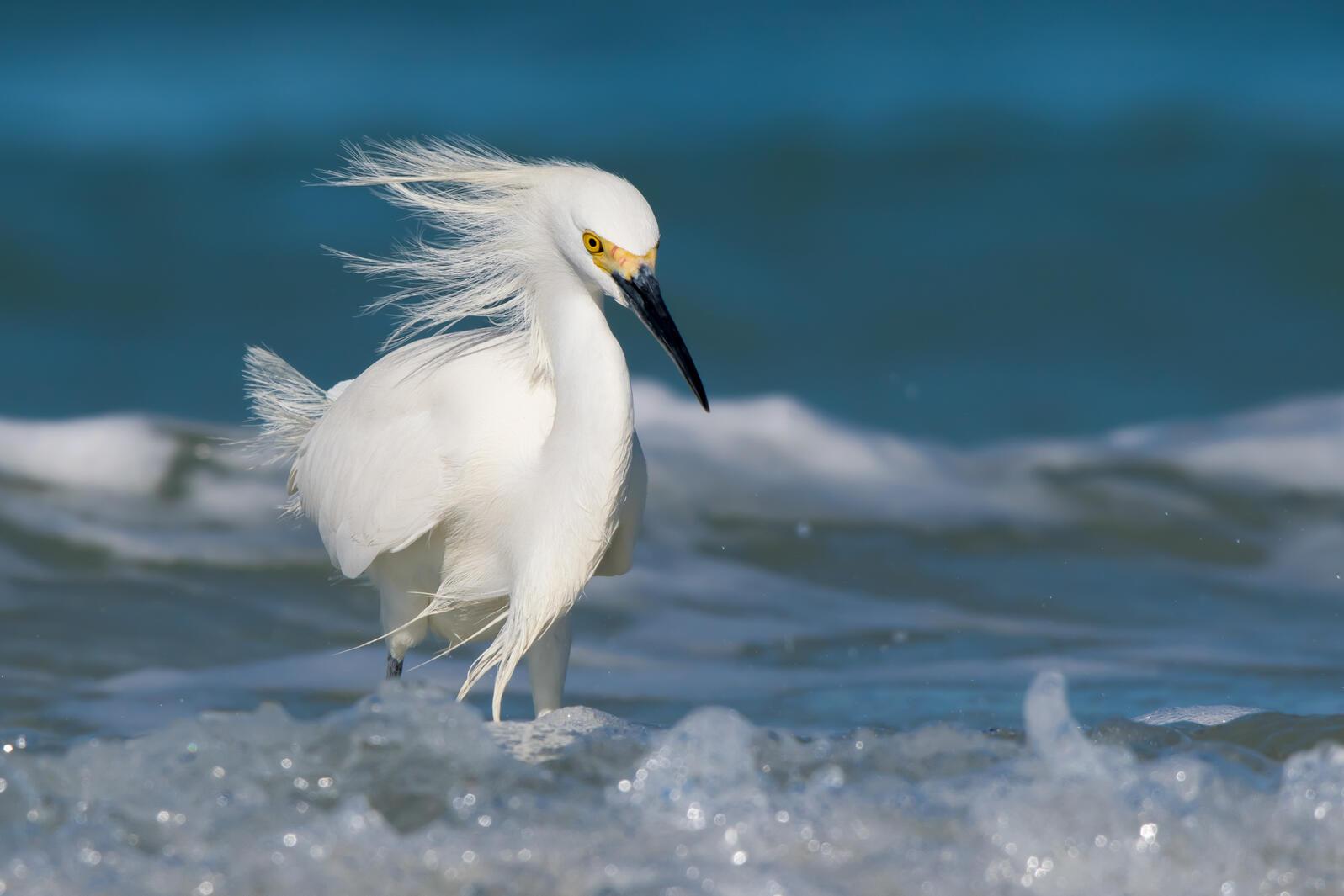 Snowy Egret. Jesse Gordon/Audubon Photography Awards