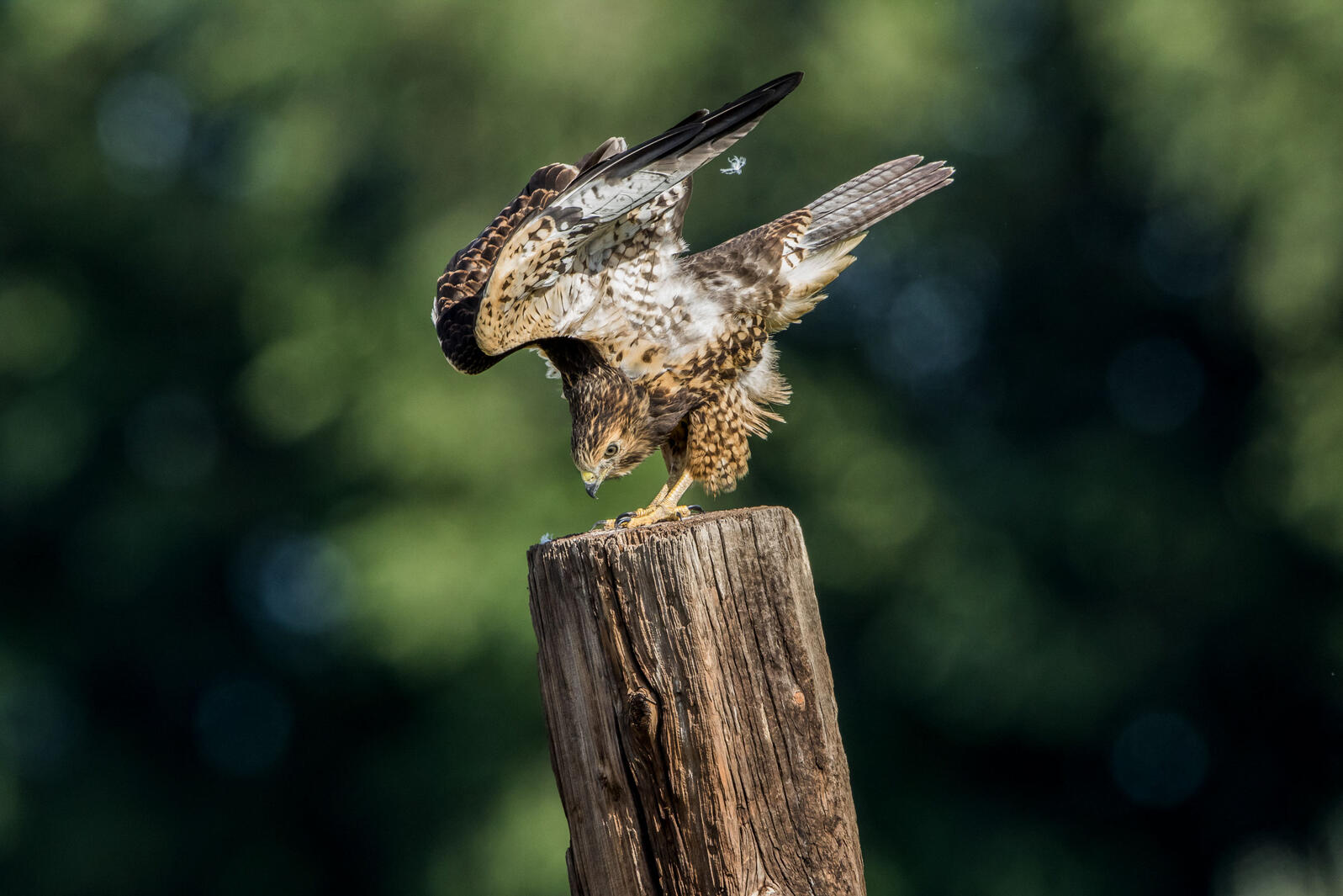 Swainson's Hawk. Marina Schultz/Audubon Photography Awards