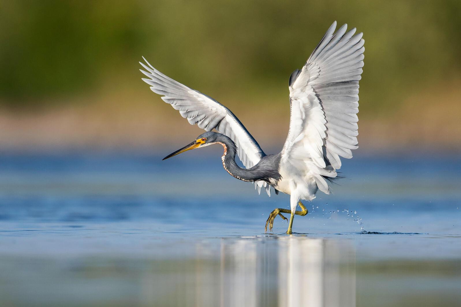 Tricolored Heron. Peter Brannon/Audubon Photography Awards