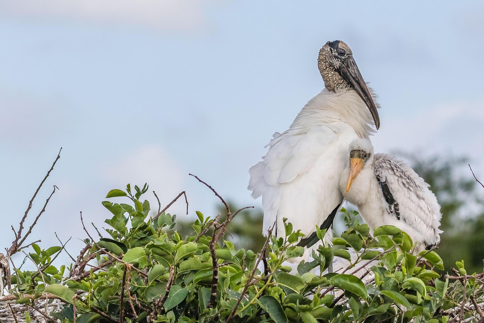 Wood Stork with nestling. Lorraine Minns/Audubon Photography Awards