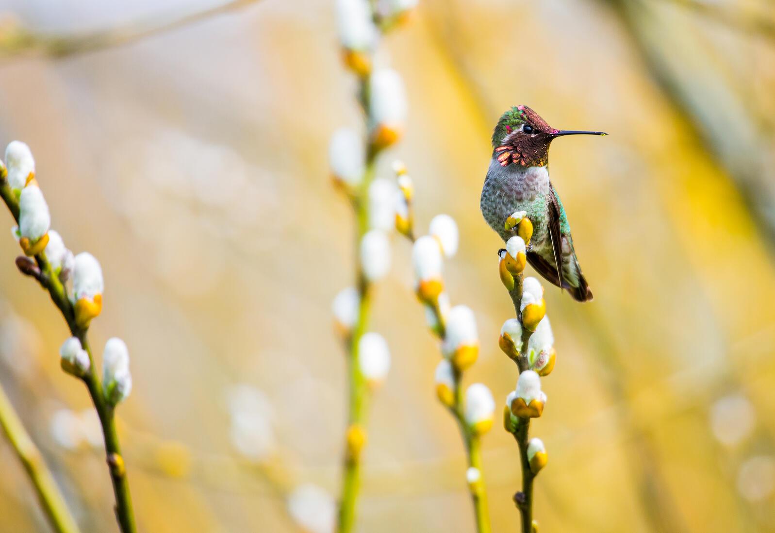 Anna's Hummingbird. Matthew Olson/Audubon Photography Awards