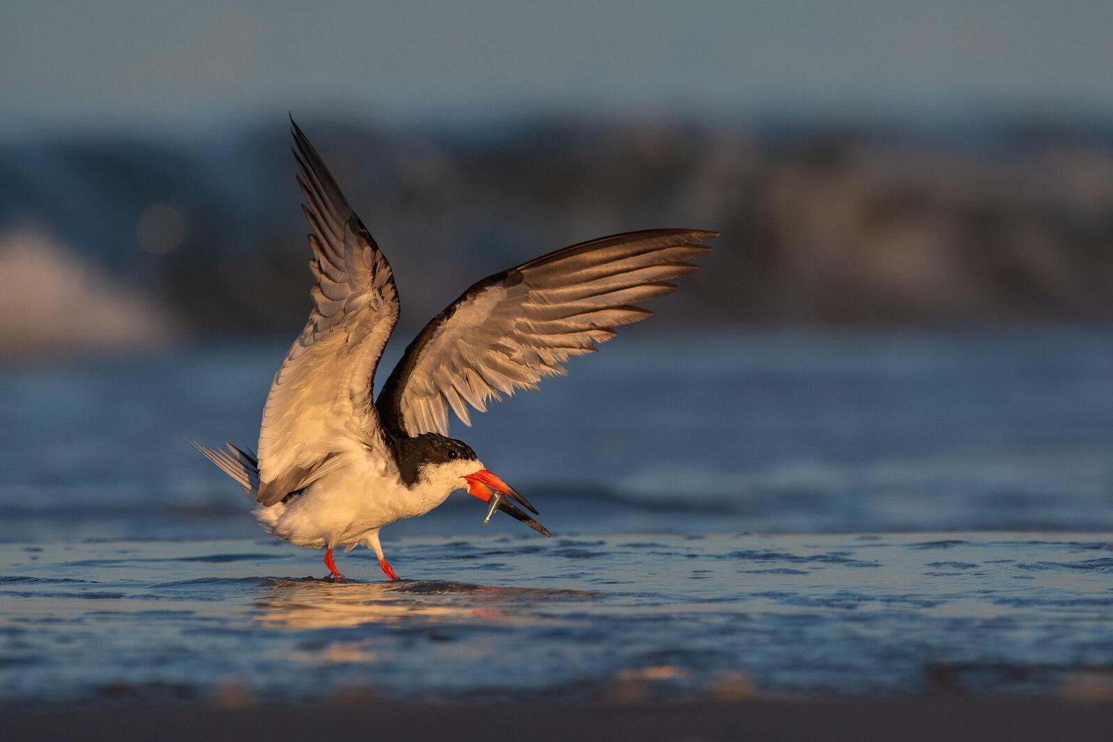 Black Skimmer. Nikunj Patel/Audubon Photography Awards
