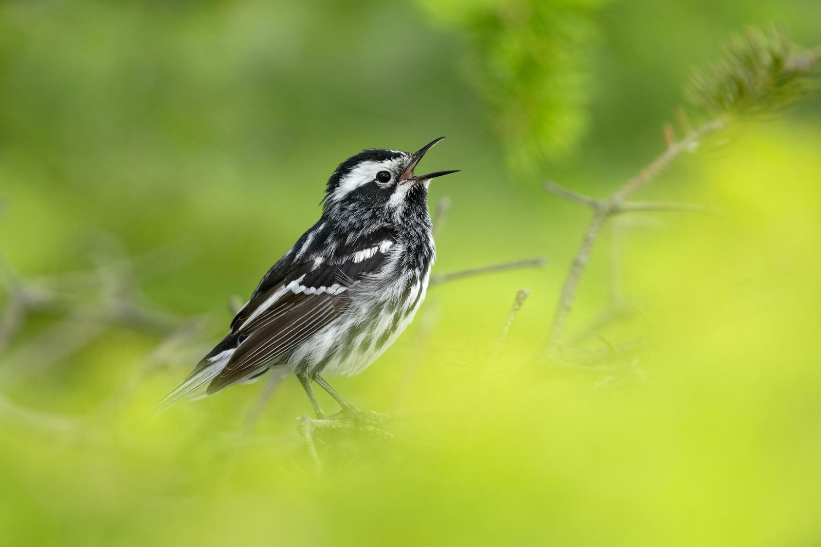 Black-and-white Warbler. Brad James/Audubon Photography Awards