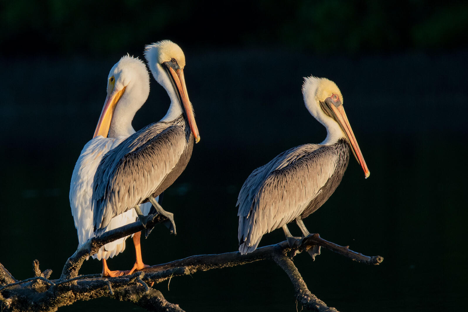 Brown Pelicans and an American White Pelican. Jean Hall/Audubon Photography Awards