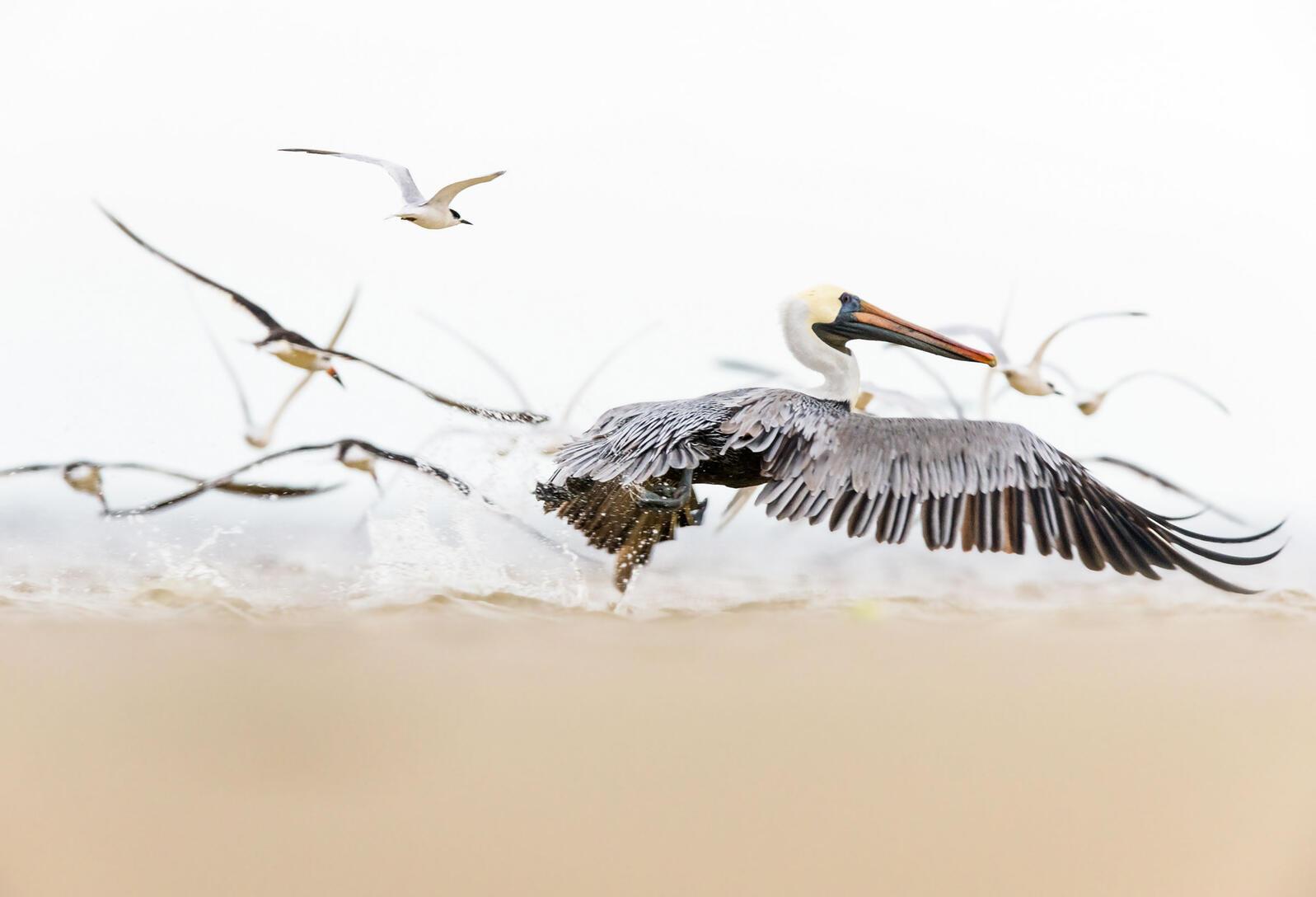 Brown Pelican. Pamela Underhill Karaz/Audubon Photography Awards