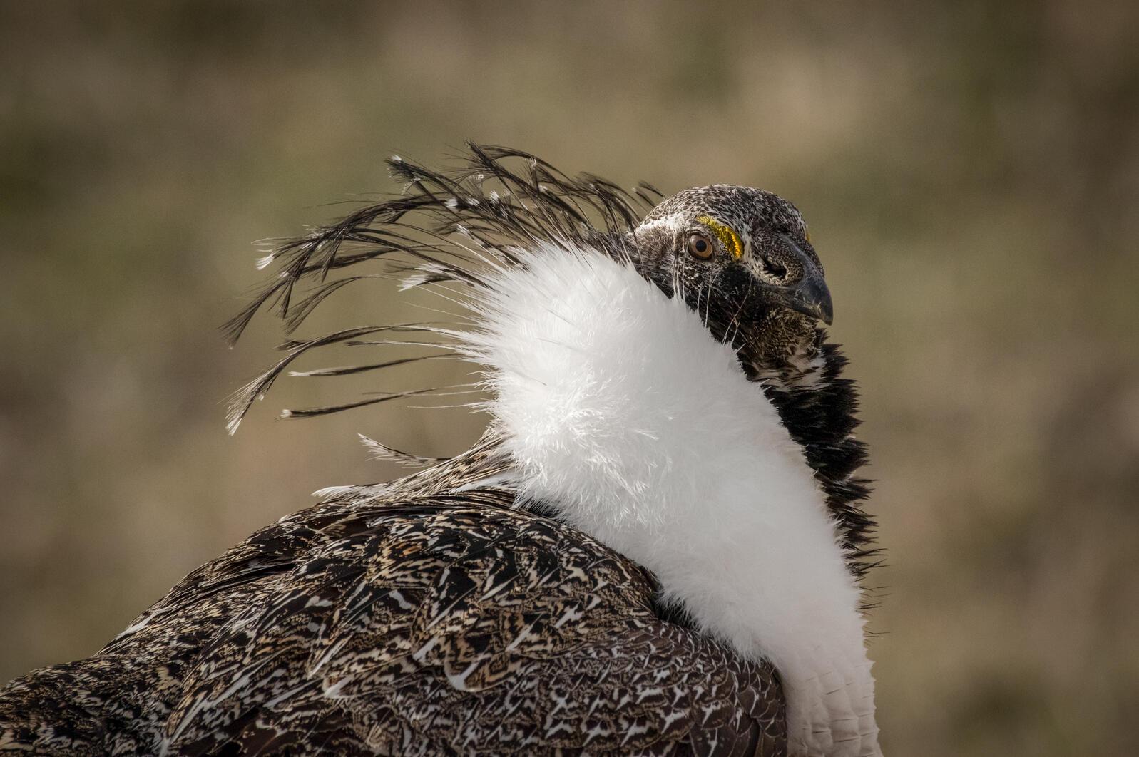 Greater Sage-Grouse. Alex Miller/Audubon Photography Awards
