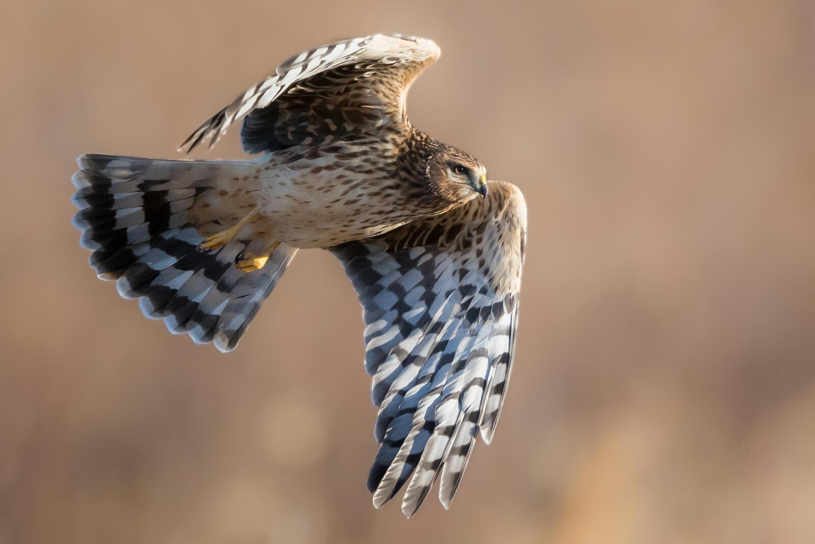 Northern Harrier. Joe Gliozzo/Audubon Photography Awards