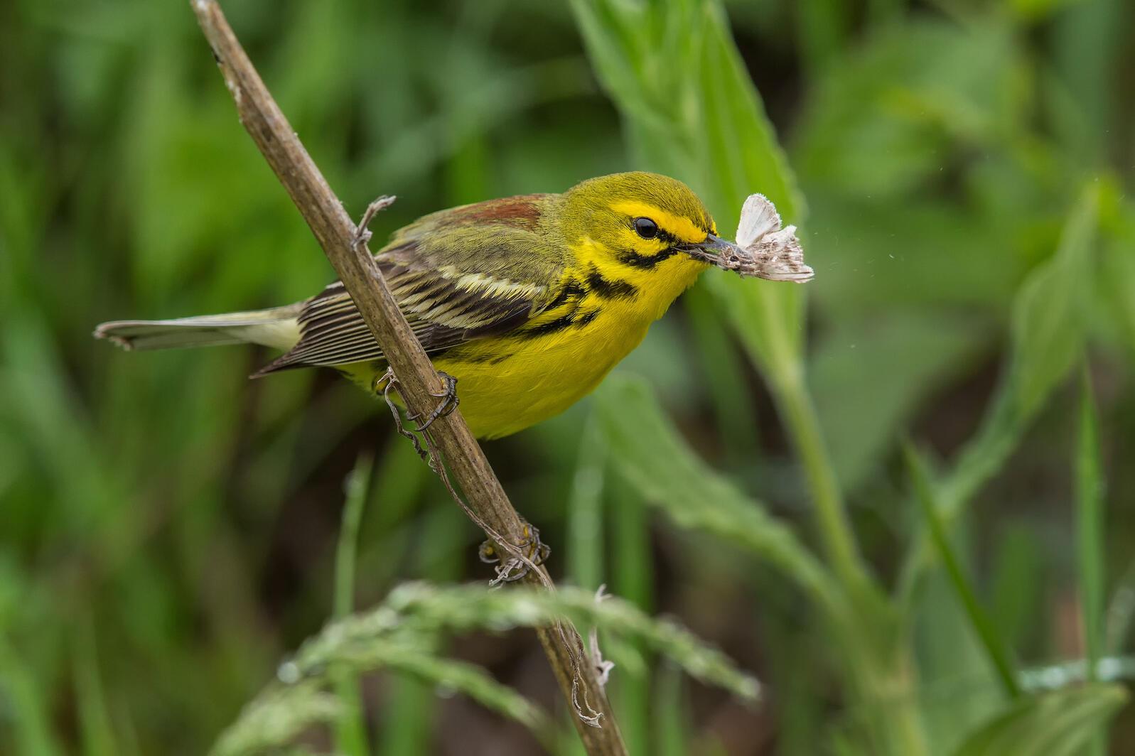 Prairie Warbler. Christopher Ciccone/Audubon Photography Awards