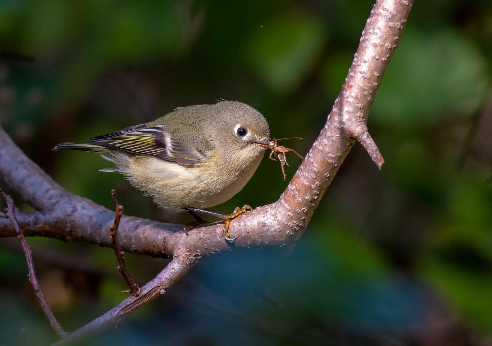 Ruby-crowned Kinglet. Josh Graham/Audubon Photography Awards
