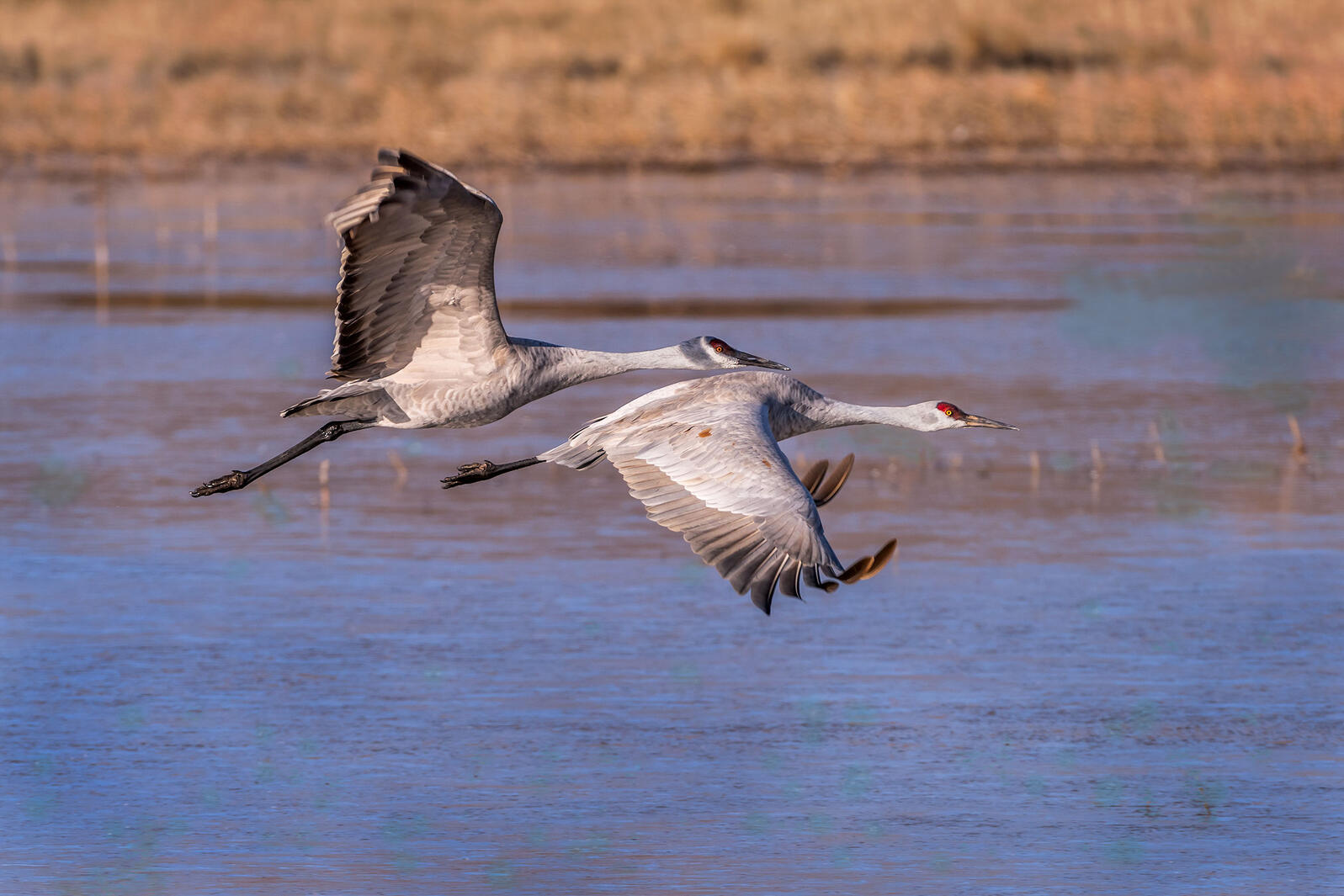 Sandhill Cranes. Richard Pick/Audubon Photography Awards