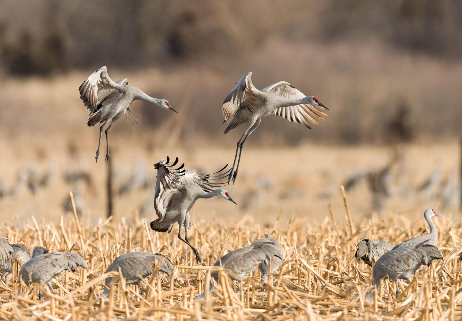 Sandhill Cranes. Mary D'Agostino/Audubon Photography Awards