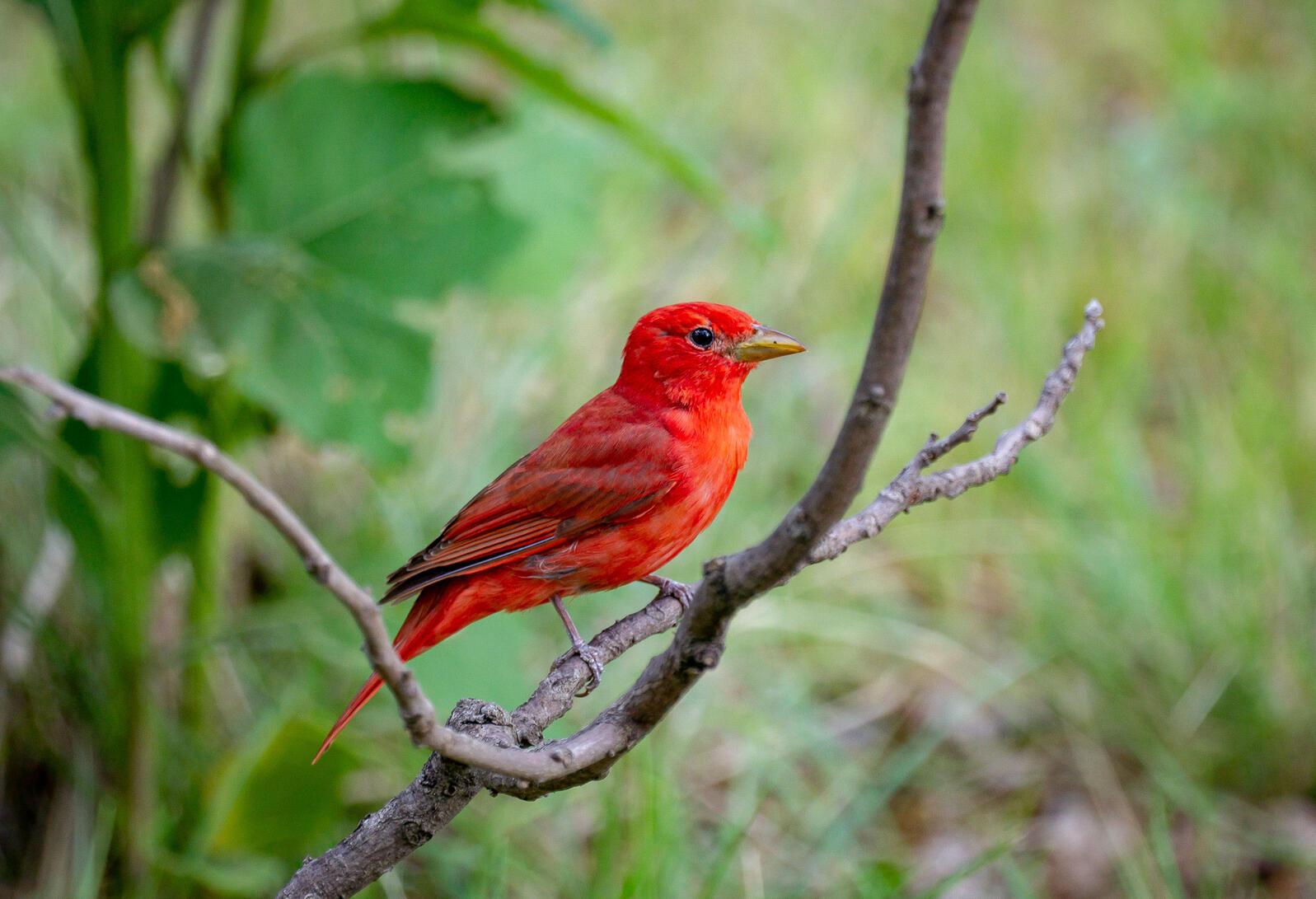 Summer Tanager. Peter Hogan/Audubon Photography Awards