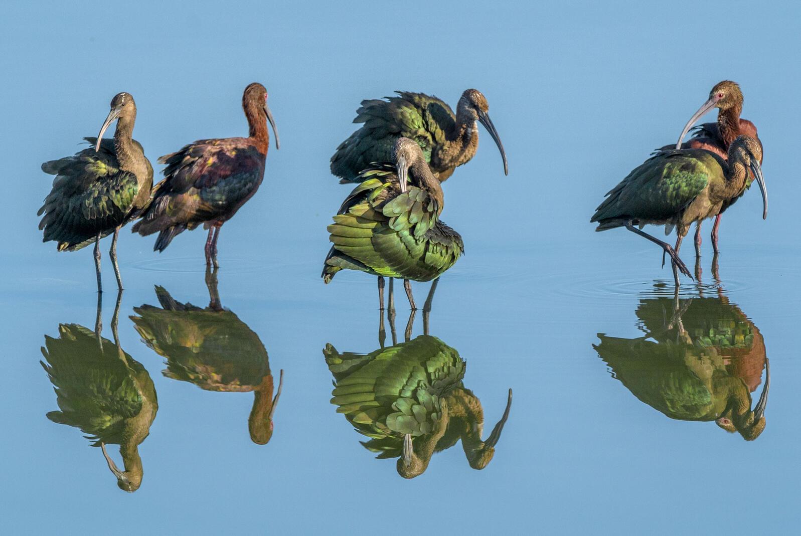 White-faced Ibis. Craig Goettsch/Audubon Photography Awards