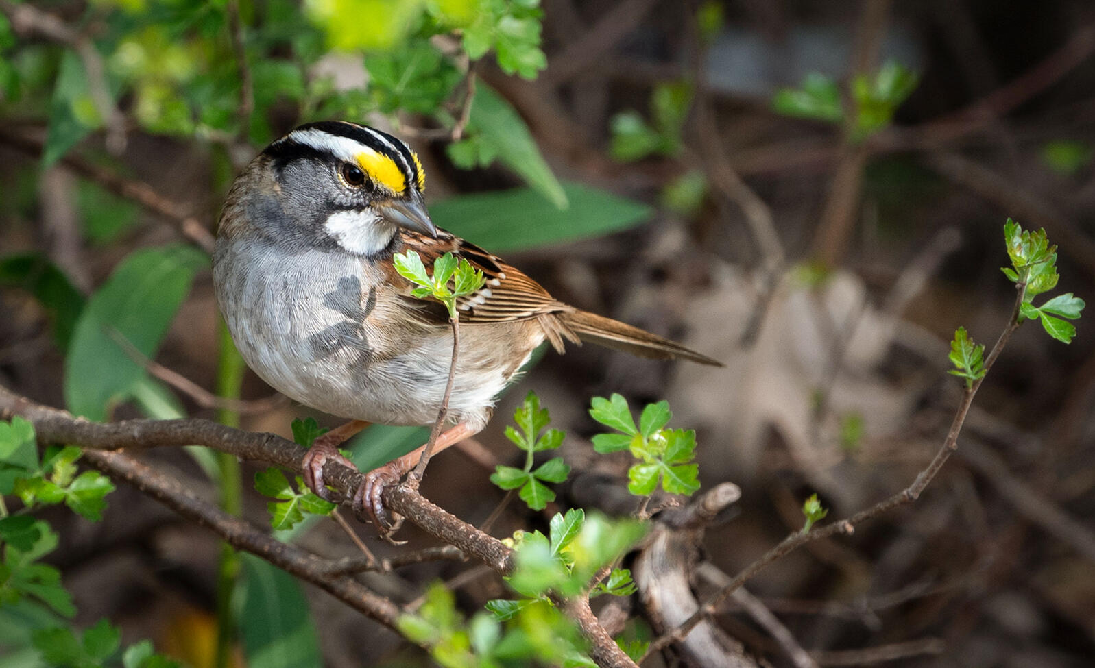 White-throated Sparrow. Tim Harris/Audubon Photography Awards