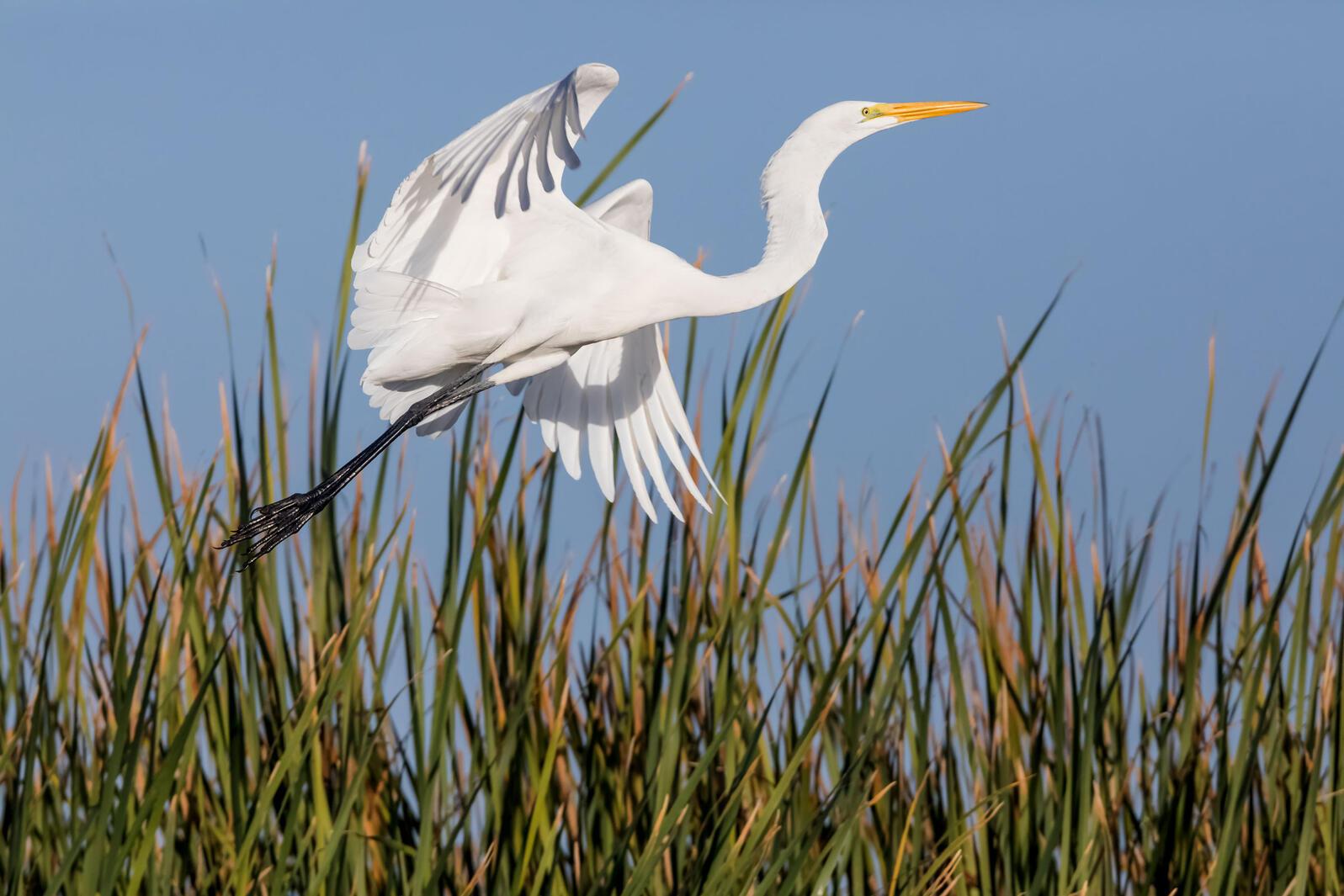 Great Egret. Claudio Contreras Koob