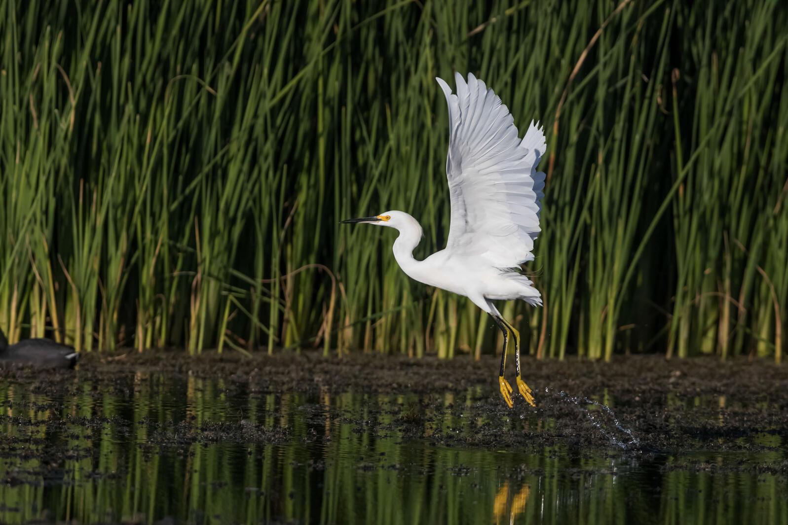 Snowy Egret. Claudio-Contreras Koob/Audubon