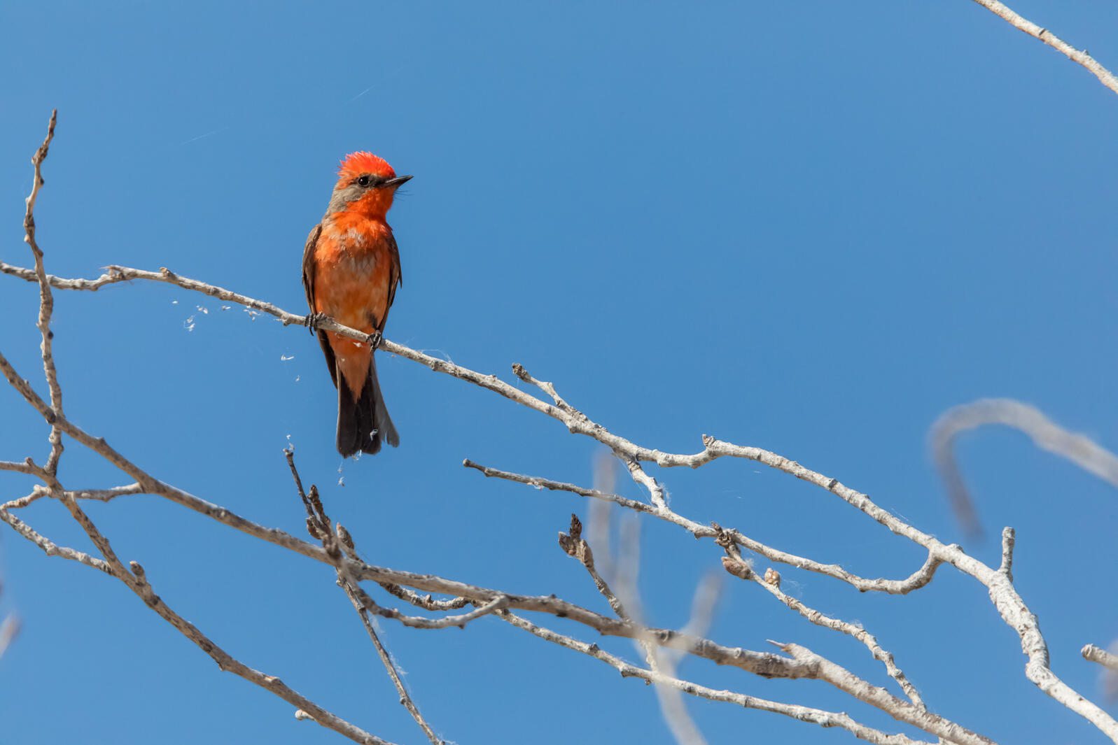 A bright red Vermilion Flycatcher perches on a tree branch against a clear blue sky.