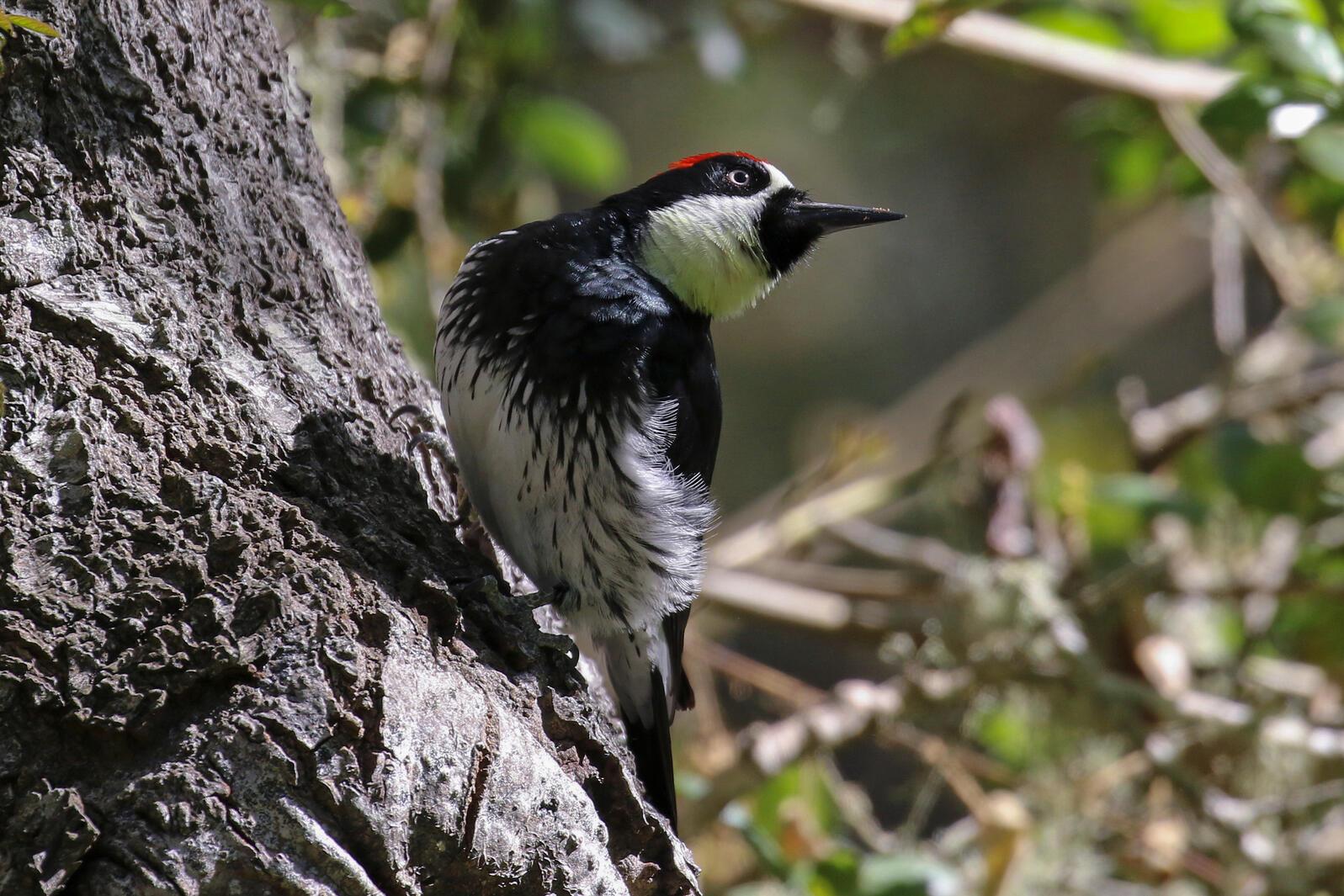 Acorn Woodpecker. Joan Tisdale/Great Backyard Bird Count
