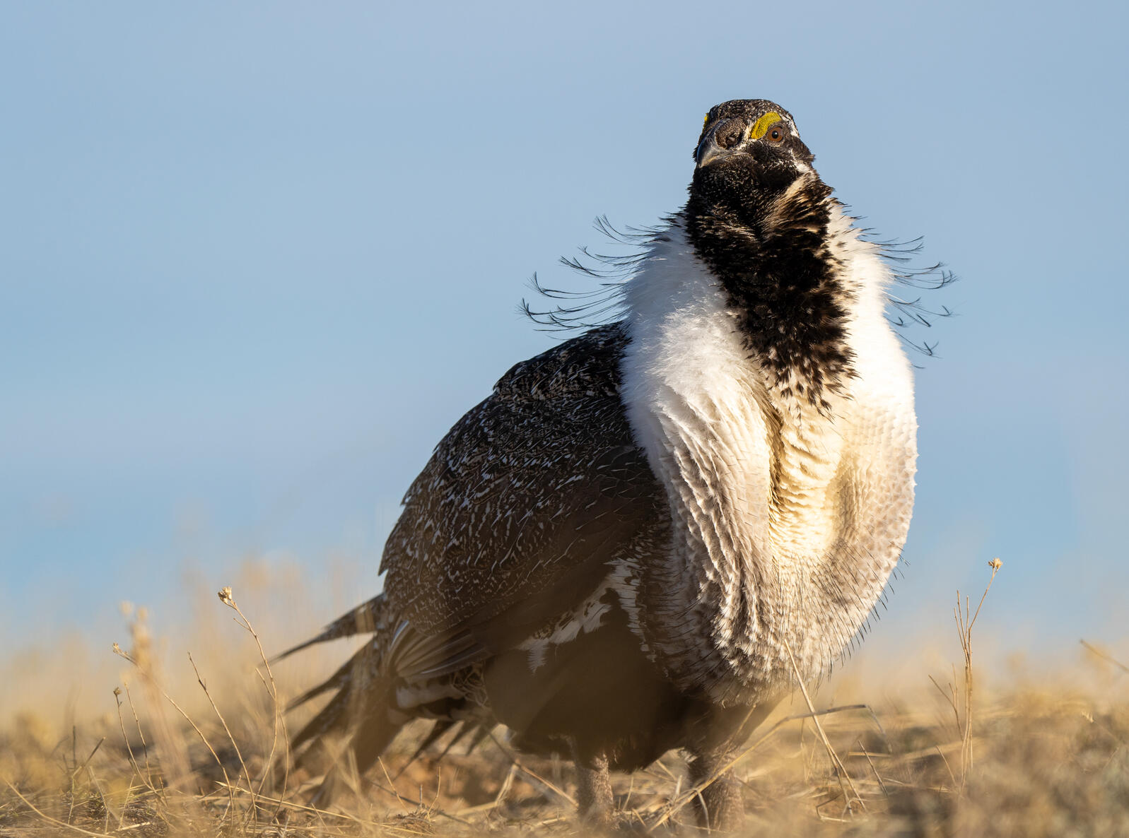 Greater Sage-Grouse. Evan Barrientos/Audubon Rockies