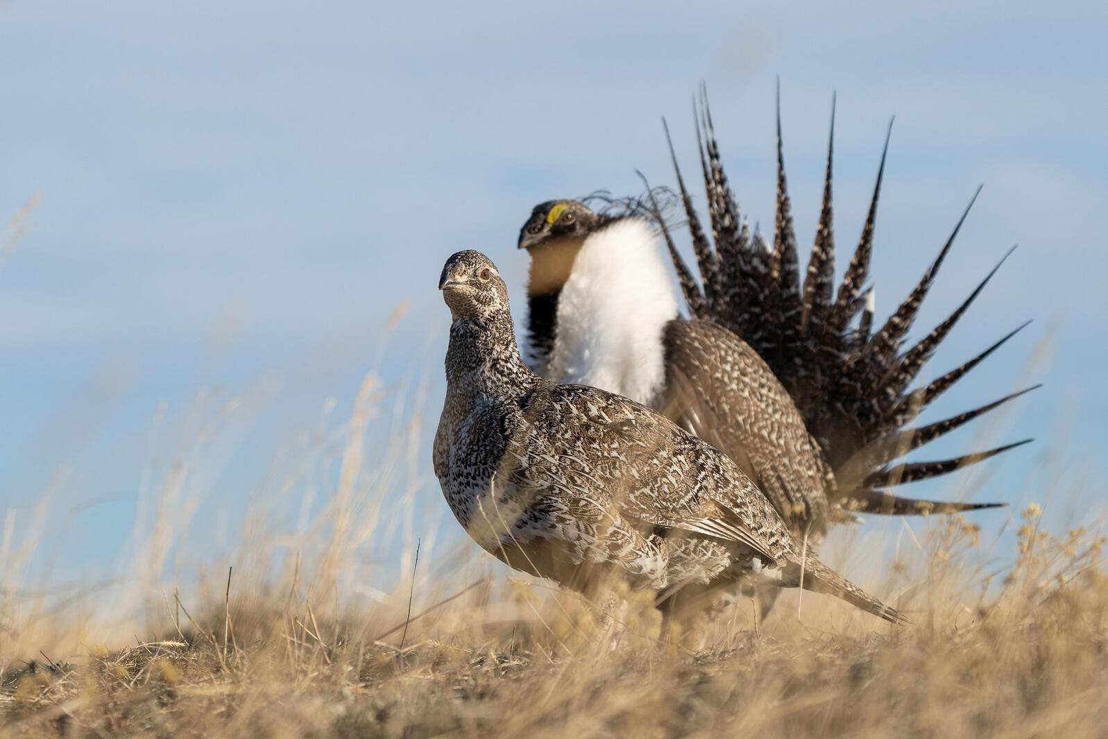 A pair of Greater Sage-Grouse. Evan Barrientos/Audubon Rockies