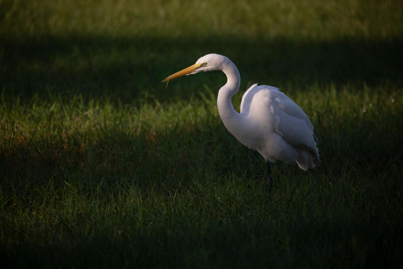 Great Egret. Luke Franke/Audubon